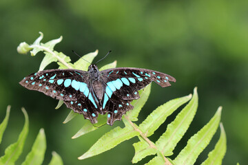 Black and blue winged swallowtail butterfly in the garden - Butterflies of the Indian subcontinent