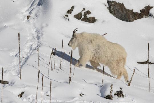 mountain goat (Oreamnos americanus), also known as the Rocky Mountain goat in winter
