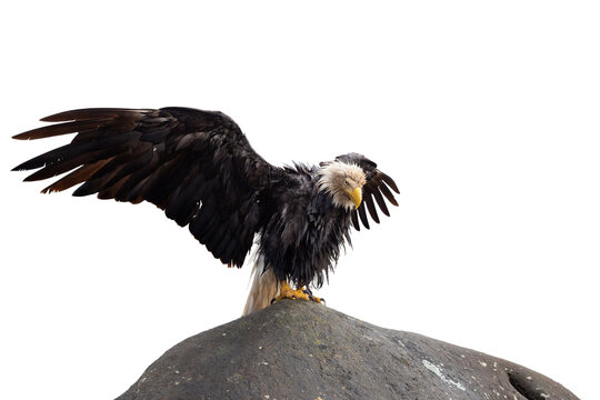 Bald Eagle sitting on a rock with Wings Wide Open. White Background Isolated Cutout. Perfect for Image Composites. Graphic Resource.