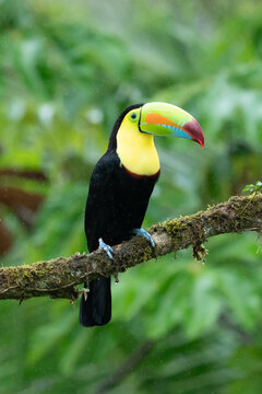 Wildlife from Costa Rica, tropical bird. Toucan sitting on the branch in the forest, green vegetation. Nature travel holiday in central America. Keel-billed Toucan, Ramphastos sulfuratus.