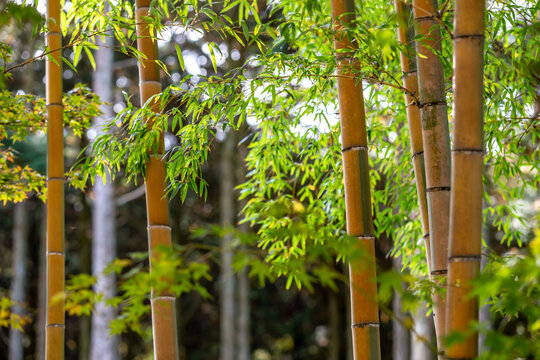 竹と紅葉 秋の和風イメージ