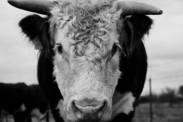 Wall Mural - Hereford bull portrait in rustic black and white close up with horns, horned beef cattle concept.