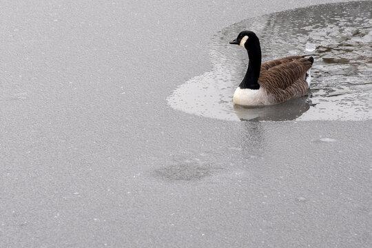 Gans als Eisbrecher auf einem See