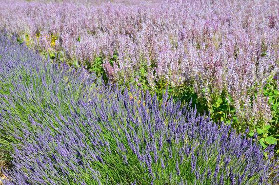 Lavender (Lavandula angustifolia) and lavendin (Lavandula × intermedia) field background, closeup of purple flowers, summer landscape