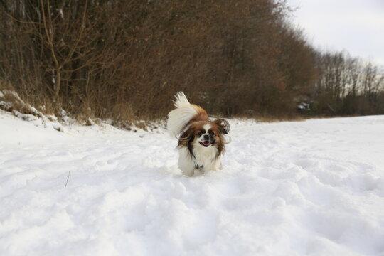 Kleiner Hund rennt im Schnee