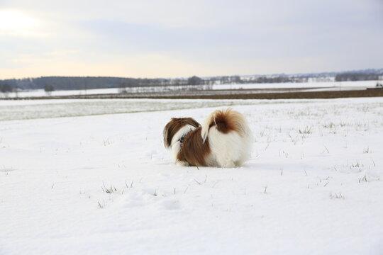 Abby im Schnee - kleiner Hund im Winter