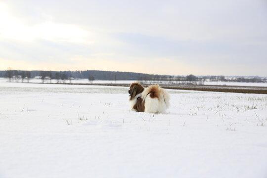 Kleiner Hund blickt in die ferne - Winter