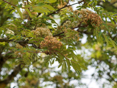 (Sorbus aucuparia) Sorbier des oiseleurs à inflorescence printanière blanche en corymbes au dessus de feuilles vertes à folioles finement dentées