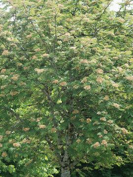 (Sorbus aucuparia) Sorbier des oiseleurs ou arbre à grives aux petites fleurs blanches en corymbes denses dans un feuillage léger et dense