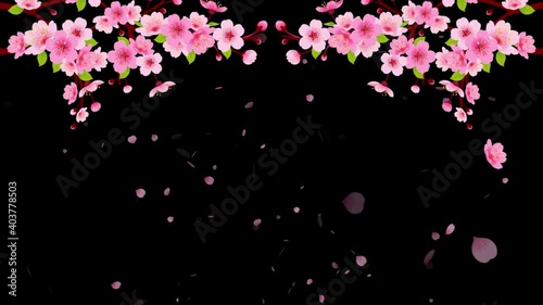 Wall mural 4K Pink Cherry blossom branch with falling petals animation. Motion Japanese spring sakura alpha background