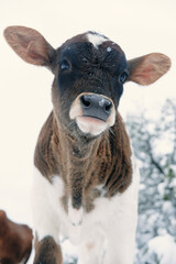 Wall Mural - Snow on nose of calf close up for winter portrait on cow farm.