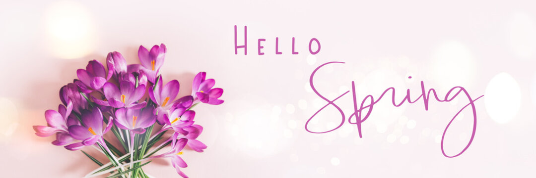Hello Spring text. Creative layout pattern made with spring crocus flowers on pink background. Flat lay, banner size. Spring minimal concept.