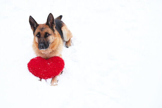 Postcard with dog for Valentines Day. German Shepherd of black and red color lies on freshly fallen white soft snow next to red toy heart. Beautiful banner and plenty of space for your text or design.