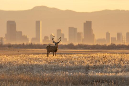 Mule deer against a background of Denver skyline