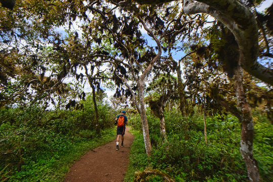 Trekking in Los Gemelos volcanic sinkholes and Scalesia giant daisy trees, Galapagos Islands, Ecuador