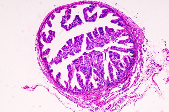Education anatomy and Histological sample of Human under the microscope.