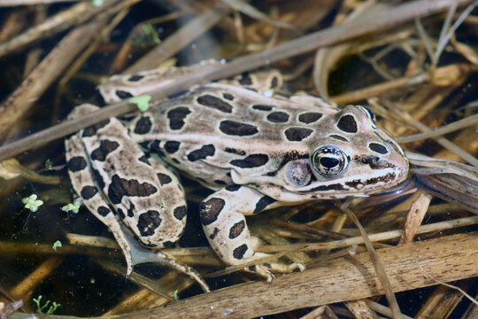 Adult Northern Leopard Frog floating in a pond.