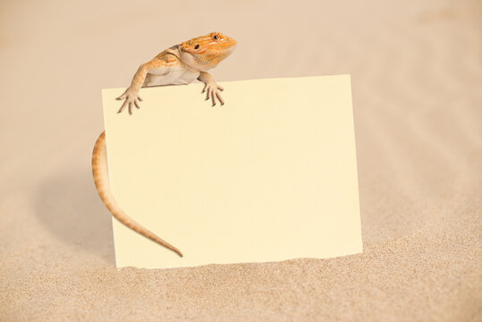 Close-up Of Lizard With Blank Paper On Sand