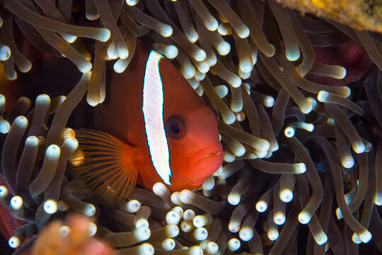 Tomato clownfish swimming in front of its anemone - Amphiprion frenatus