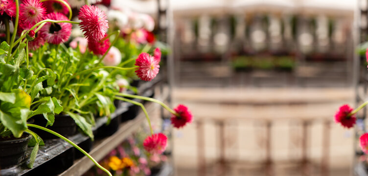 Daisy seedlings flowers at the market. Gardening.