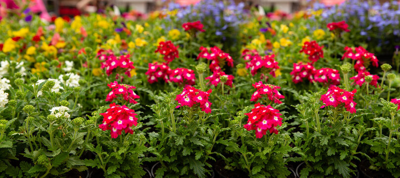 Seedling flowers of verbena on the market. Gardening.
