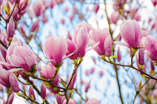 pink magnolia blossom in springtime. beautiful flowers on the branch in morning light