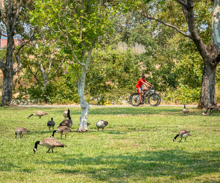 Geese forage on the grass as bike riders pass by at Los Gatos Creek County Park.