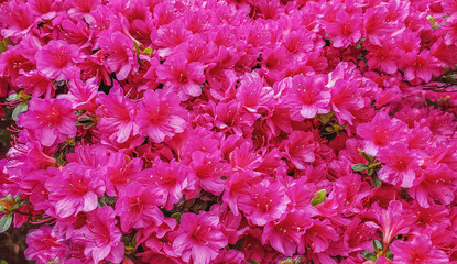 View of mass of pink azaleas in bloom in spring