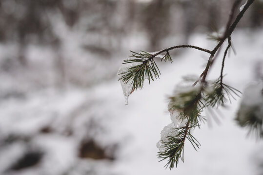 snow covered branches of a pine tree