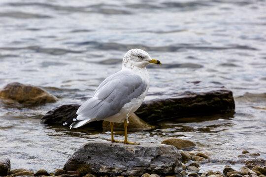 Gull standing in water on lake shore, Whitefish Lake, Montana