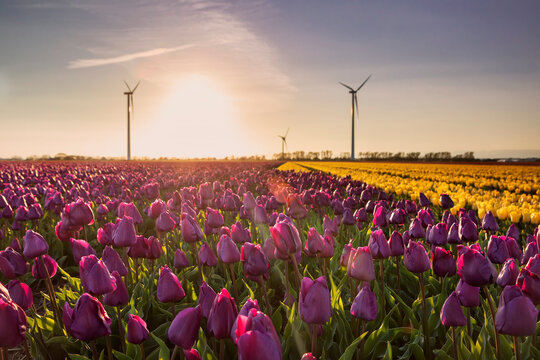 purple and yellow tulip fields and wind turbines