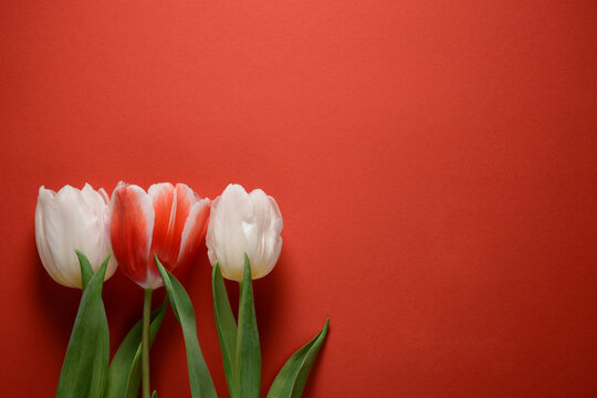 White tulips on red background. Valentines day card