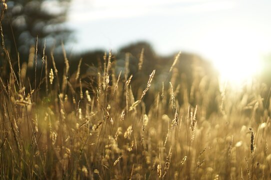 Close-up Of Crops Growing On Field Against Bright Sky