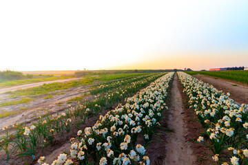 A field with rows of daffodils for sale, the Israeli winter at sunset
