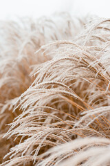 Abstract natural background of soft plants Cortaderia selloana. Frosted pampas grass on a blurry bokeh, Dry reeds boho style. Patterns on the first ice. Earth watching
