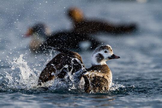 Long-tailed Duck, IJseend, Clangula hyemalis