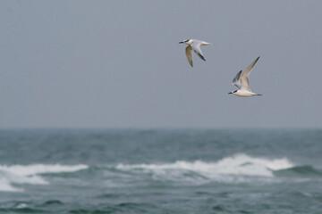 Grote Stern, Sandwich Tern, Sterna sandvicensis