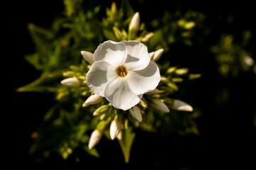 Obraz Kwiat w ogrodzie, Chełmża, Toruń, Polska - fototapety do salonu