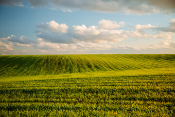 Wall Mural - Beautiful green field and perfect blue sky. Agricultural area of Ukraine, Europe.