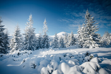 Wall Mural - Fantastic winter landscape with spruces covered in snow in frosty day.