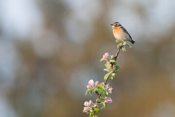 Paapje, Whinchat, Saxicola rubetra