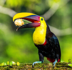yellow billed toucan