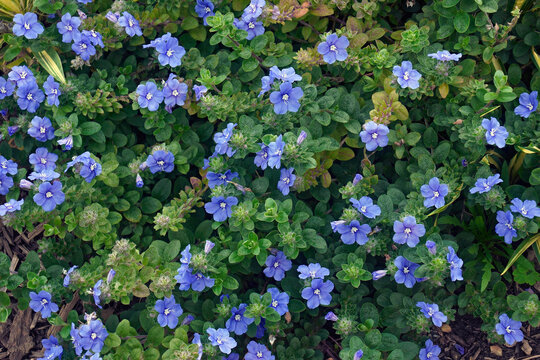 Dwarf morning glory (Evolvulus glomeratus). Called Blue daze, Brazilian Dwarf Morning glory also