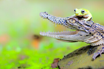 Close-up Of Crocodile And Frog On Rock