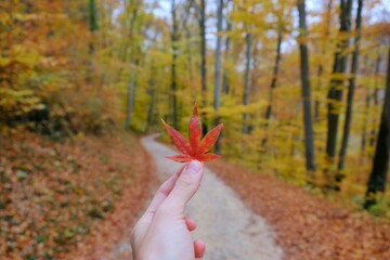 Cropped Hand Holding Maple Leaf In Forest During Autumn