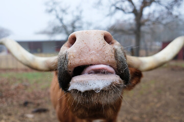 Wall Mural - Funny Texas longhorn cow with slobber close up from wide angle.
