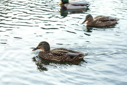 Ducks swim in a pond. Anatinae dabbling ducks with beautiful plumage.