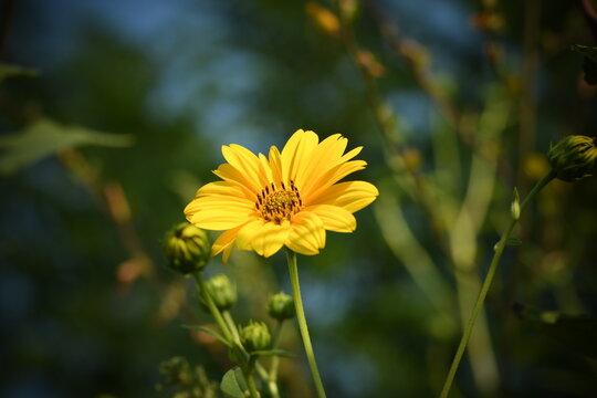 Fiore giallo selvatico in un campo