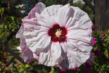 Obraz Malwa kwiat - fototapety do salonu