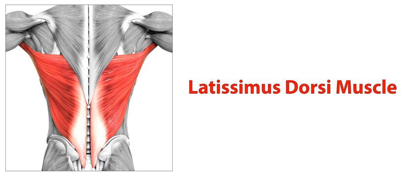 Human Muscular System Torso Muscles Latissimus Dorsi Muscle Anatomy